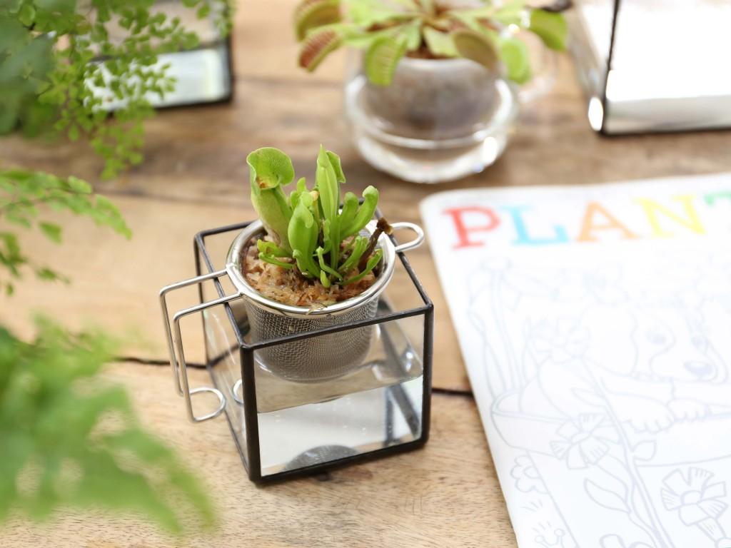 PLANTS DESIGN 食虫植物 サラセニア