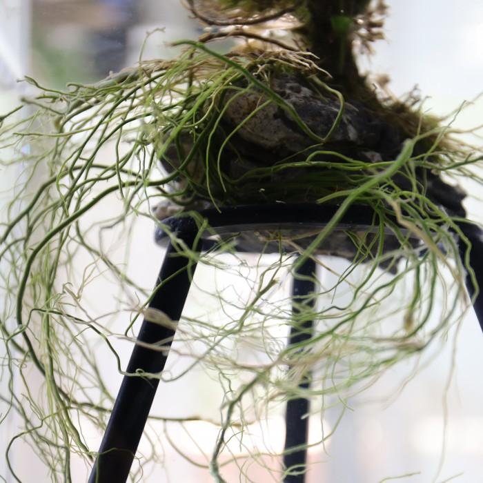 アヌビアスナナの根